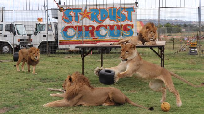 Stardust Circus has six lions, three males and three females, which like to play with a tyre when not performing or sleeping.