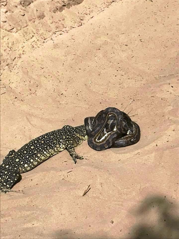 Fraser Island resident Steven Sykus stumbled across a snake trying to devour a goanna.