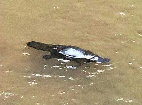 Shane Foster captured this incredible picture of a platypus at Queen Mary Falls.