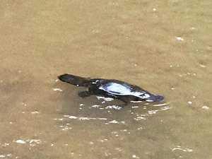 WATCH: Iconic Aussie animal spotted splashing in falls
