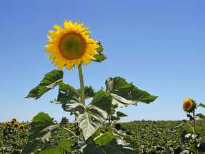 Sunflowers bring tourist boom to Southern Downs