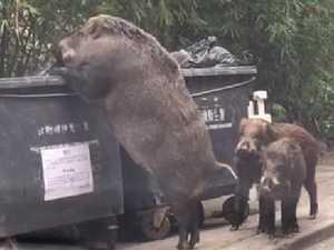 Giant pig's garbage bin feast