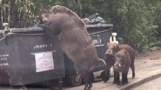 Giant pig eats garbage in Hong Kong.