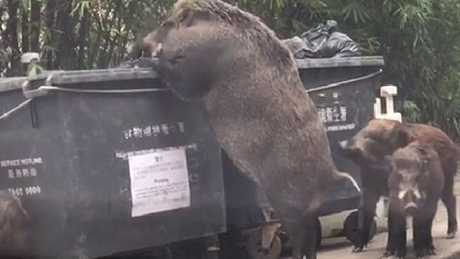 Huge wild boar freaks people out as it rummages through bins