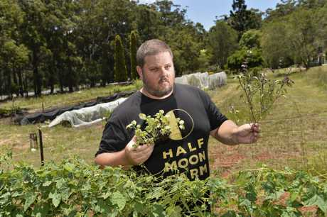 WORRIED: Organic farmer Justin Russell is concerned about the spread of basil downy mildew.