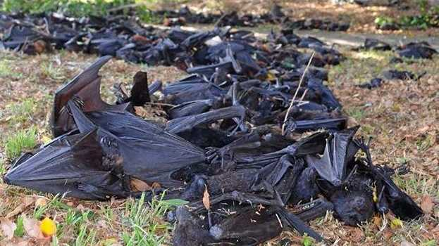 DEAD BATS: Some of the thousands of bats who suffered horribly in the record-breaking temperatures during 2014.