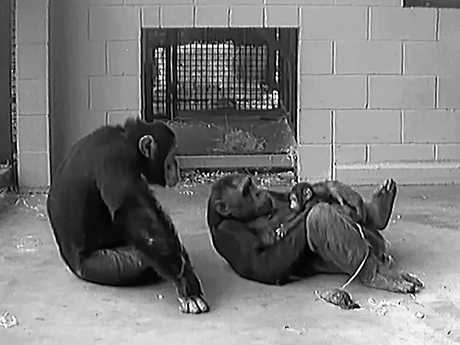 Chimpanzee Leaky with her new baby while another chimp looks on.  Still image from a video provided by the Rockhampton Zoo.