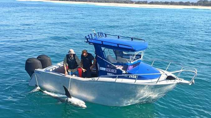 LETTING GO: DPI researchers tag and release a shark caught on a SMART drumline off the Coffs Coast.