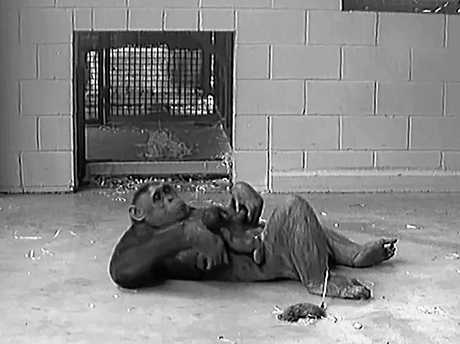 Chimpanzee Leaky with her new baby.  Still image from a video provided by the Rockhampton Zoo.