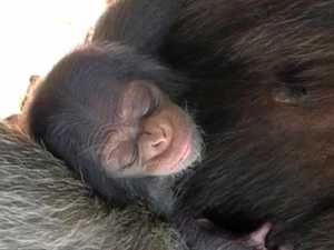 Rocky zoo keeper explains how baby chimp birth unfolded