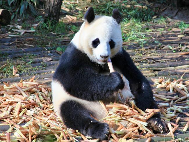 Giant adult panda at Chengdu Research Base of Giant Panda Breeding, China. Picture: Fleur Bainger.
