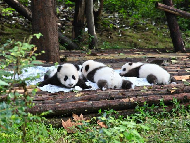 Playful pandas chew material edges and roll clumsily down the hill. Picture: Fleur Bainger.
