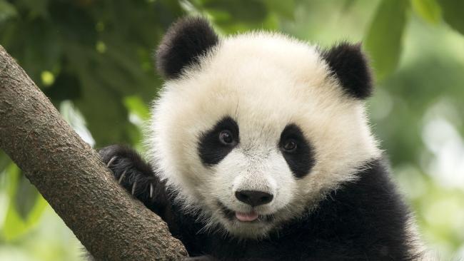 Giant Panda baby cub in Chengdu, China. Picture iStock.