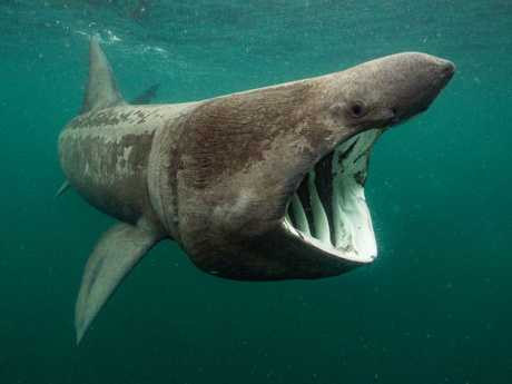 Will Clark's Basking shark feeding taken in Scotland off the Isle of Coll. Picture: Will Clark/UPY 2018