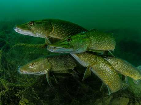 Tony Stephenson was named The Most Promising British Underwater Photographer 2018 for How Many Pike? Picture: Tony Stephenson/UPY 2018