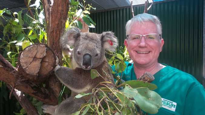 Senior vet at Currumbin Wildlife Sanctuary, Dr Michael Pyne, takes care of Turbo the koala, who's recovering from chlamydia.
