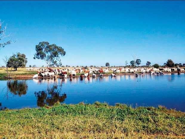 BRAHMAN STUD: Brahman's quenching their thirst