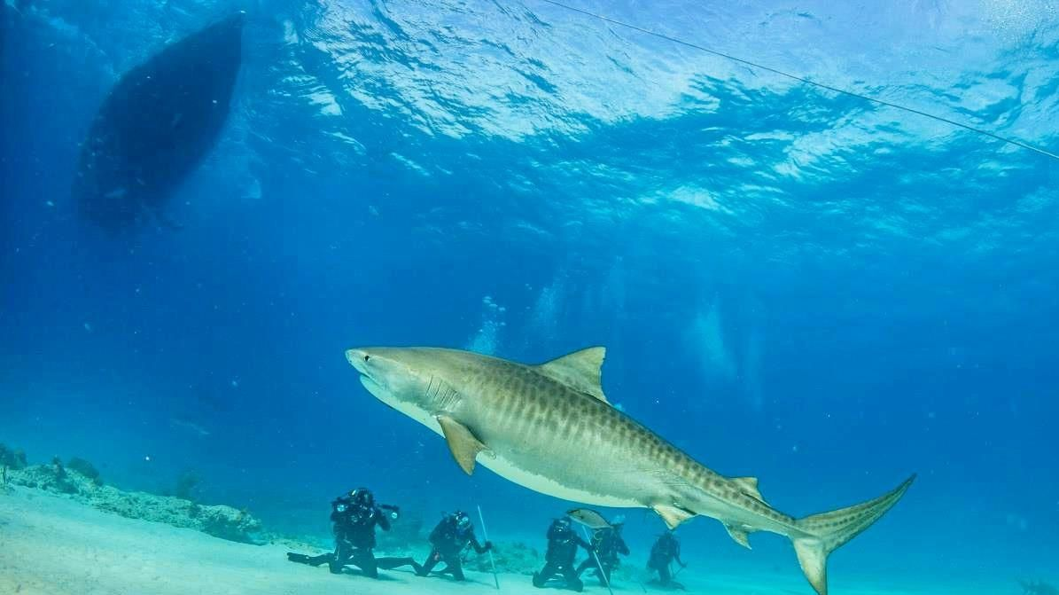 UP CLOSE: The massive tiger shark interacting with the dive team.