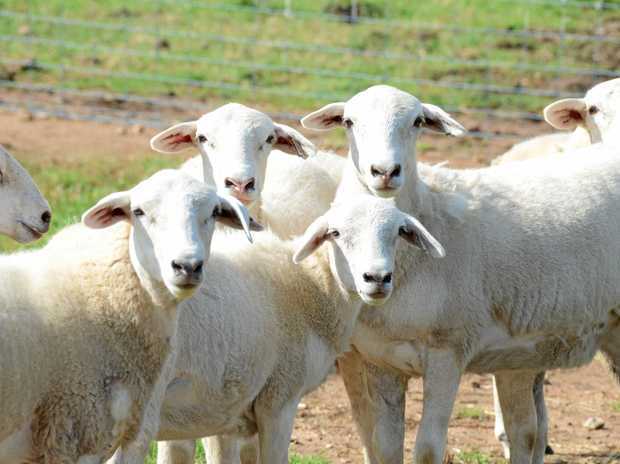 NEW TECHNOLOGY: researchers at La Trobe University have developed wearable motion sensors for sheep and cattle.