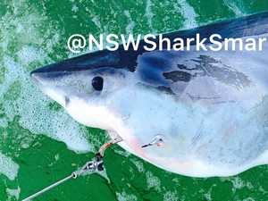 Sharks not hanging around after getting hooked