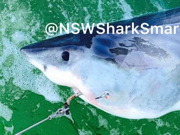 A female white shark caught on SMART drumlines at Main Beach, Evans Head.