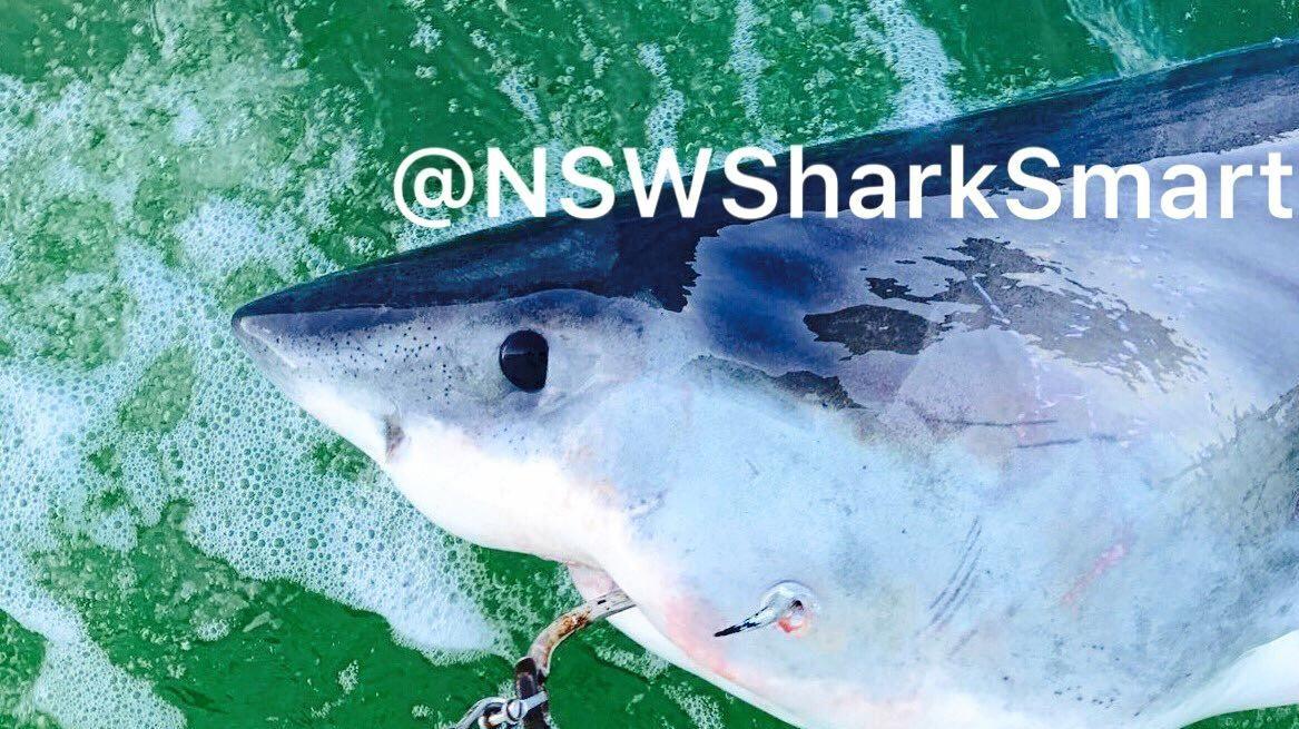 A female white shark caught on SMART drumlines at Main Beach, Evans Head.