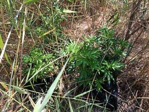 Cannabis plants, camera found in national park