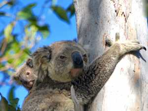 Learn how you can help our koalas