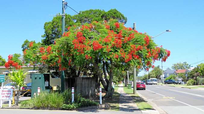 UNUSUAL: This poinciana tree outside Tewantin Noosa Bowls Club on Hilton Tce was clearly in bloom on Saturday, February 10, despite poincianas more regularly blooming in November and December.