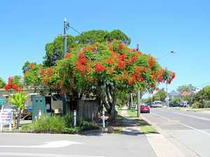 Blooming poinciana paints an usual picture