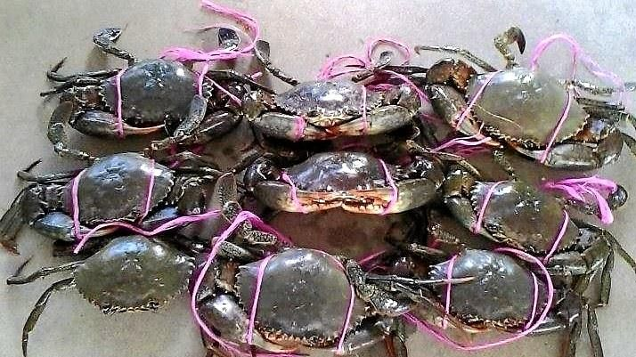 Keppel Sands Krabtastic Festival is home of the World Mud Crab Tying Championships.