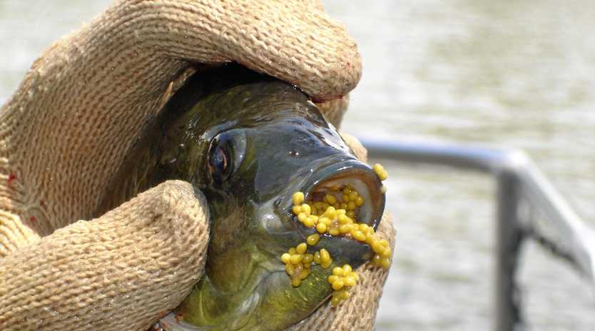Invasive fish species, the tilapia, have been found floating belly up at Spring Lake.