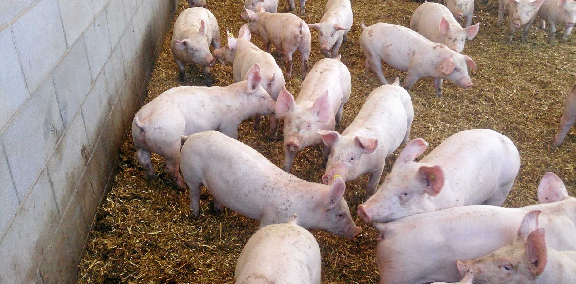 A piggery in Bowenville will increase its capacity to more than 12,000, after approval from the Toowoomba Regional Council.