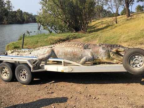 Police have released this image of the 5.2m crocodile shot in the head in the Fitzroy River.