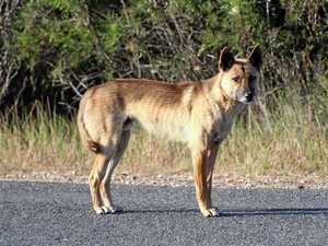 YOUR SAY: The story of Ringo the Dingo
