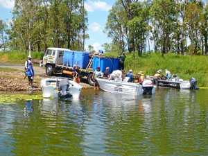 Thousands of baby barramundi going into waterways