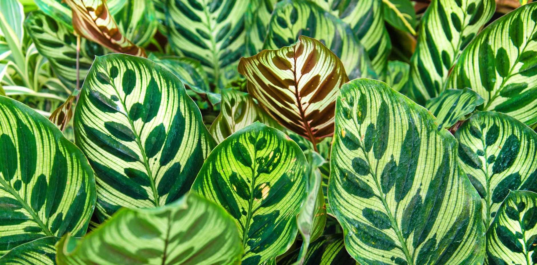 Peacock plants (Calathea makoyana).