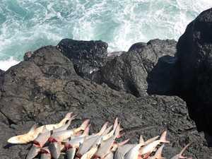 Huge shark haul on Tweed Coast