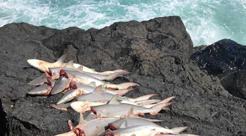 SAD SIGHT: Laelia Gardner captured photos of culled sharks at the Tweed Bar.