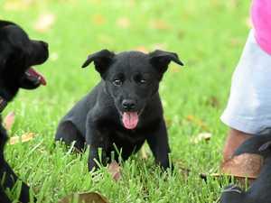 Kelpie puppies bred by breeder Steve Serone.