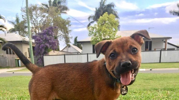 Staffordshire bull terrier Toby, who was allegedly baited in South Mackay on Friday.