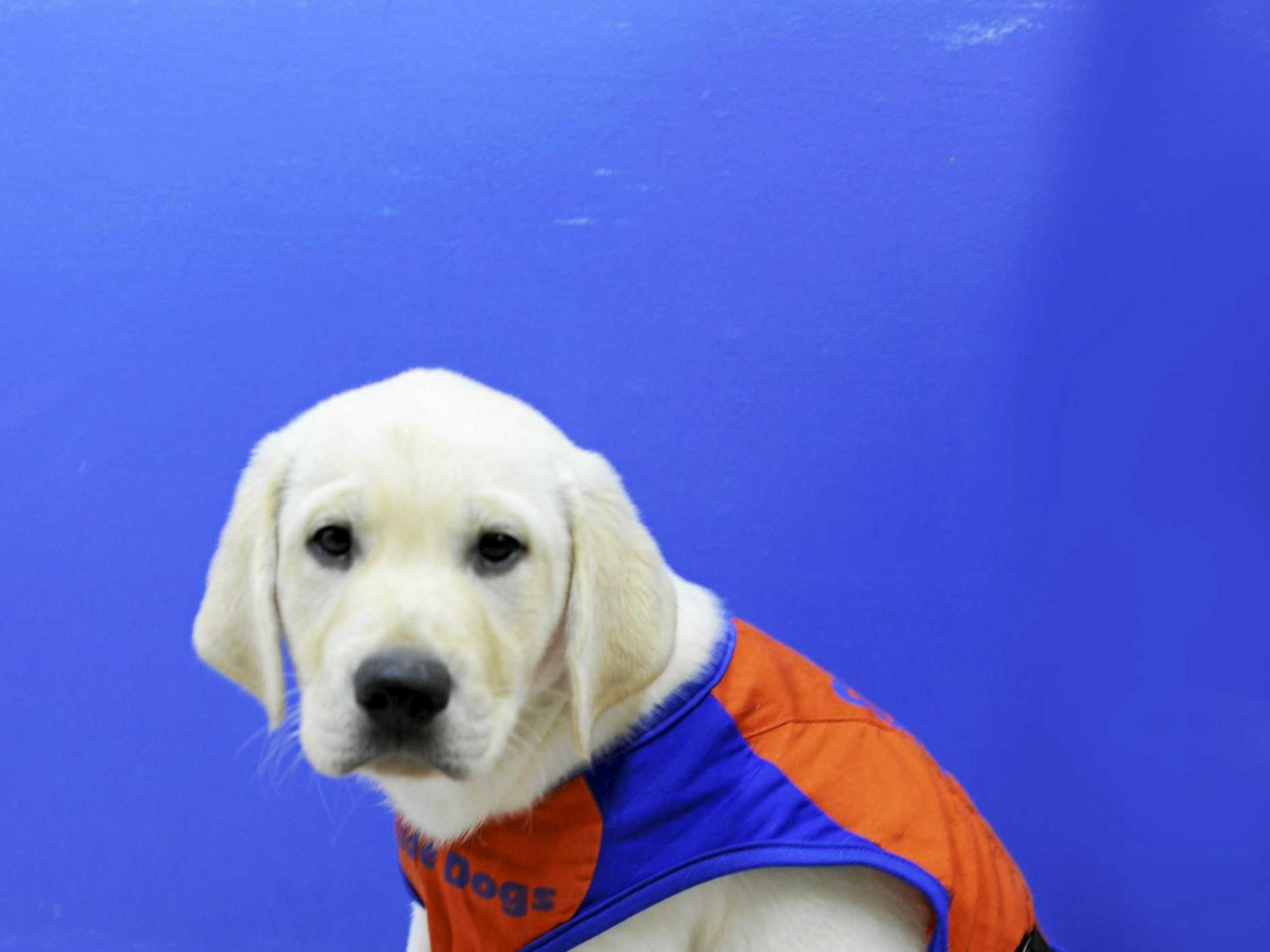 Trevor as a puppy. 'Trevor' is the new guide dog for Calliope's Dave Byars after previous guide dog 'Queeny' retired.