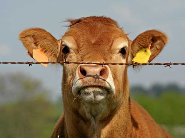 HOW NOW: This brown cow shows curiosity at the state of her industry.