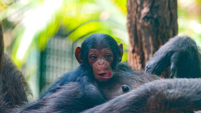 Gender revealed after Rocky Zoo's historic chimpanzee birth
