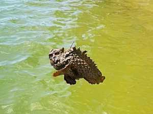 Stonefish caught at Noosa, just metres away from children