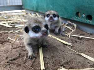 Taronga Zoo upped the adorability levels – and virtually their admission levels – after welcoming two new meerkat pups into the world.