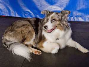 Brayd Smith's dog Ali at Smithy's Gym. Thursday, 22nd