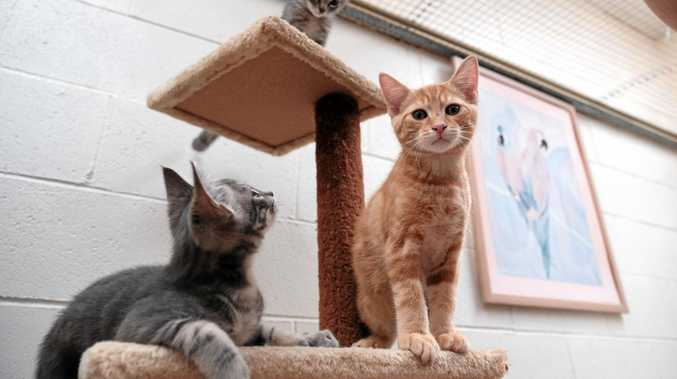 Kittens are up for adoption at the RSPCA Toowoomba.