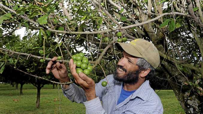 Carl Harris pictured with June flowering nuts the macadamia orchard at 'Picadilli Park', Pacific Highway, Bangalow.