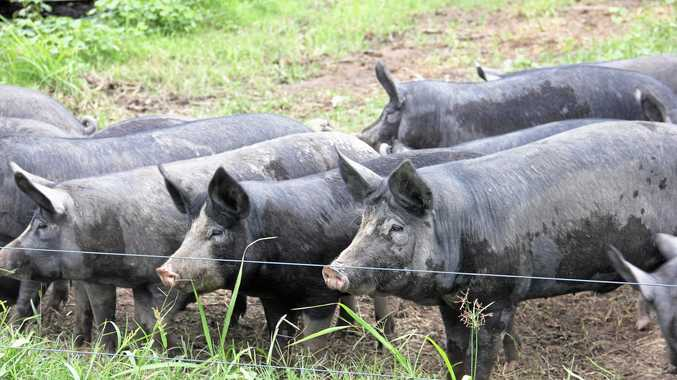 FILE PHOTO: South Burnett Regional Council has approved the expansion of two piggeries